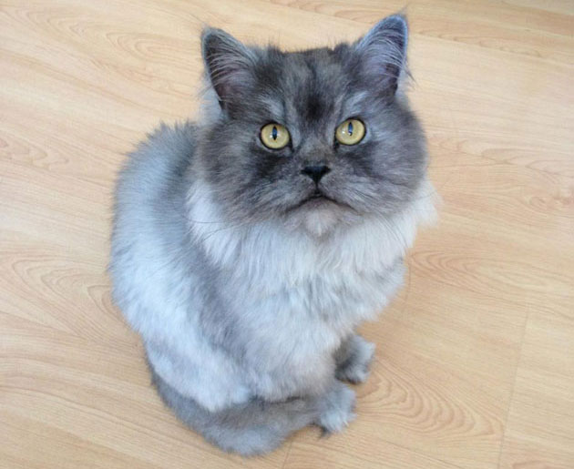 Lost Male Persian Cat Gray And White Parsippany Focus